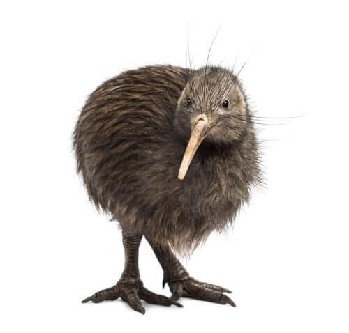 Lentokyvytön kiivi on Uuden-Seelannin kansallislintu