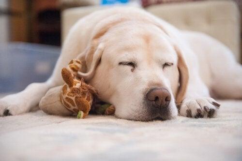 Kuinka toimia, jos koiralla on nukahtamisvaikeuksia?