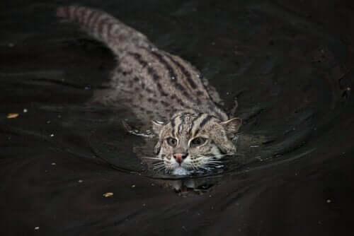 Kalastajakissa on uhanalainen kissaeläin