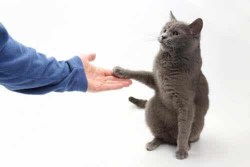 Voiko kissan opettaa antamaan tassua?