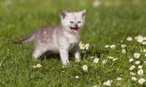 Miksi kissa naukuu?