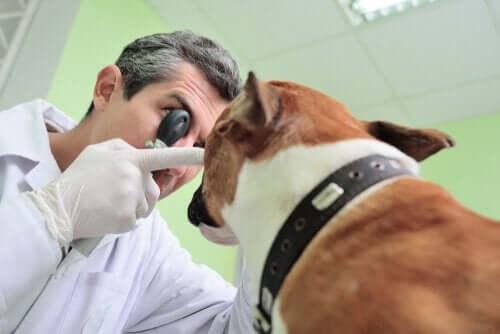 Mistä tietää, että koiran näkökyky on heikentynyt?