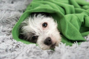 Koiran flunssa eli kennelyskä