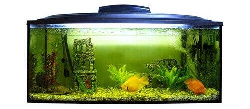 pH-arvon tärkeys akvaariossa