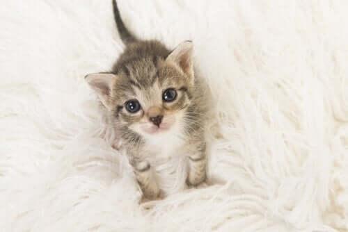 Orvon kissanpennun hoito