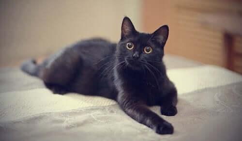 Mustiin kissoihin liittyvät myytit