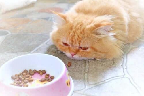 Mistä tietää, että kissalla on kuume?