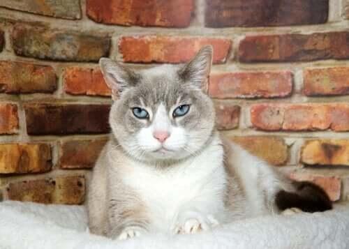 Kissan vanhuusiän dementia