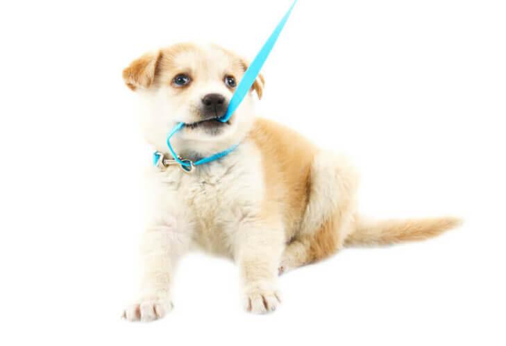 Miksi koira puree talutushihnaansa?