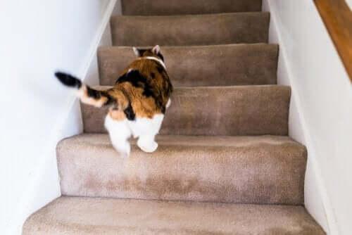 Miksi kissa säntäilee ympäri kotia pää kolmantena jalkana?