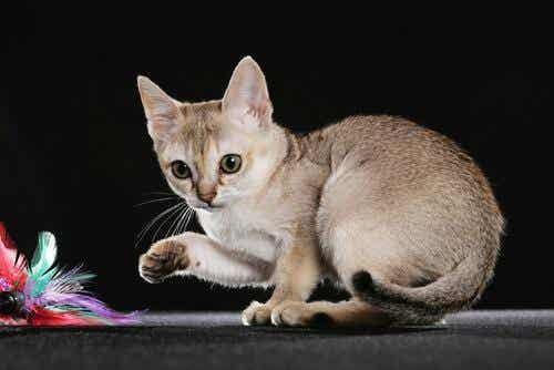 5 pientä kissarotua