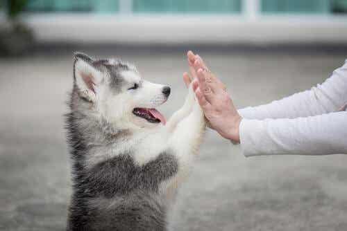 5 asiaa, joita koiranpentu ei osaa vielä tehdä