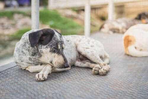Atooppinen dermatiitti koiralla