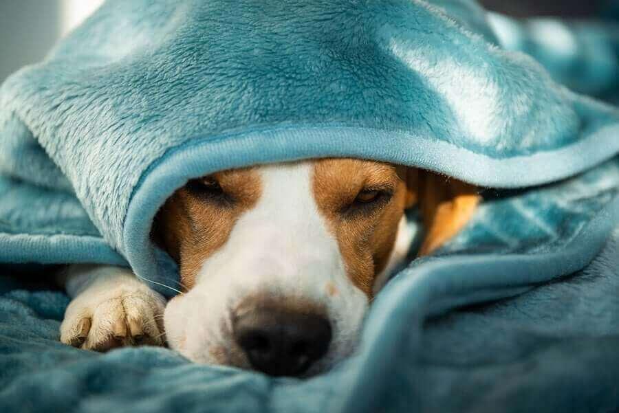 Miksi koira piiloutuu?