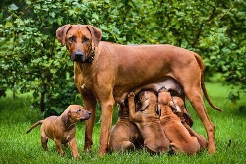 5 faktaa koirien imetyksestä