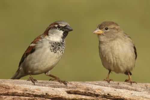 Millainen lintu on varpunen?