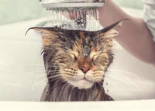 Kissan pesurutiini