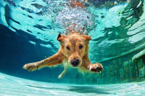 4 tapaa, joilla uiminen hyödyttää koiraa