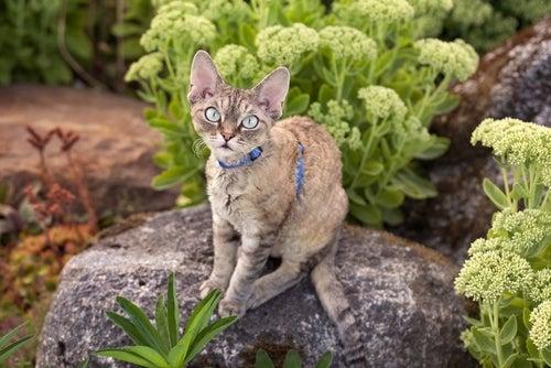 un jeune Devon Rex en laisse dans un jardin
