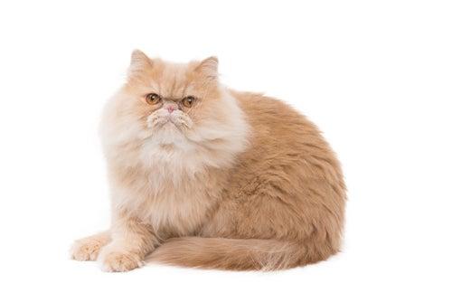 Un chat persan rouge qui semble poser