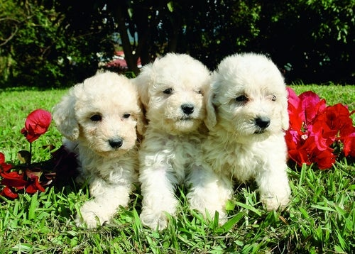 Trois petits caniches blancs dans un jardin