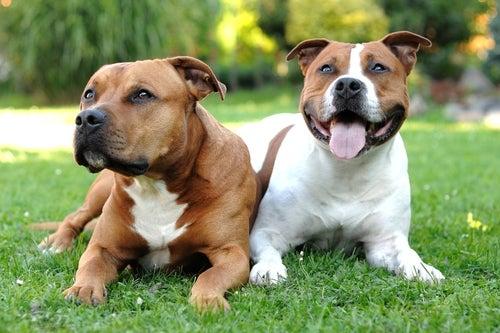 """Pitbulls, les """"chiens nounous"""""""