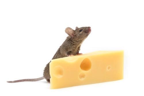 Une souris sur un morceau de fromage