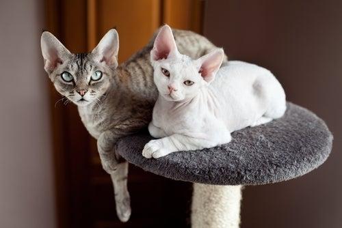 Deux devon rex sur un arbre à chats