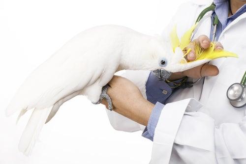 un perroquet dans les bras d'un vétérinaire