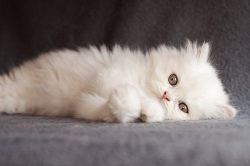 Races de chats : le chat persan