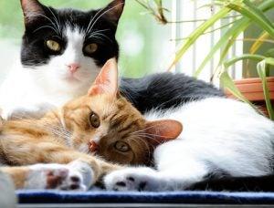 deux chats : un noir et blanc et un roux se câlinent
