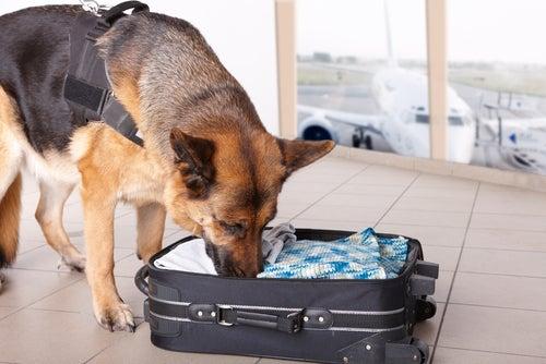 un berger allemand renifle l'intérieur d'une valise