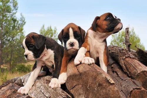 trois chiots boxers sur des rondins de bois