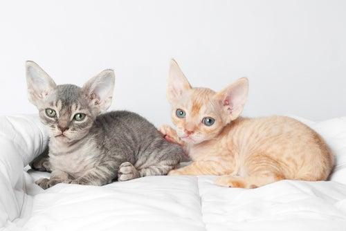 Un chat actif, joueur et docile : le Devon Rex
