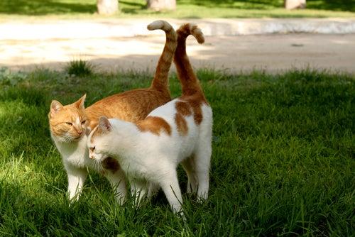 La reproduction et les chaleurs chez les chats