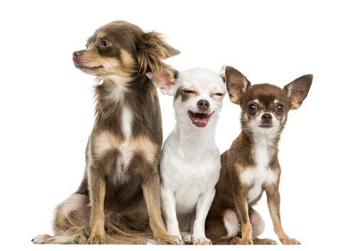 Les 10 chiens les plus petits du monde