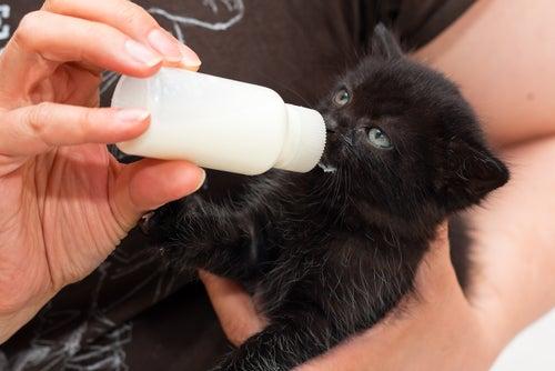un chaton noir boit au biberon