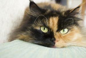 Un chat tricolore allongé