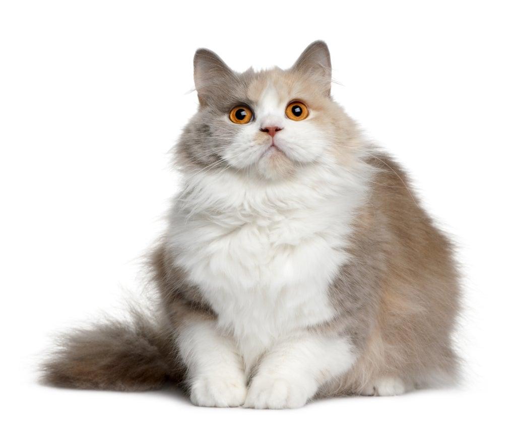 Un chat blanc et beige l'air étonné