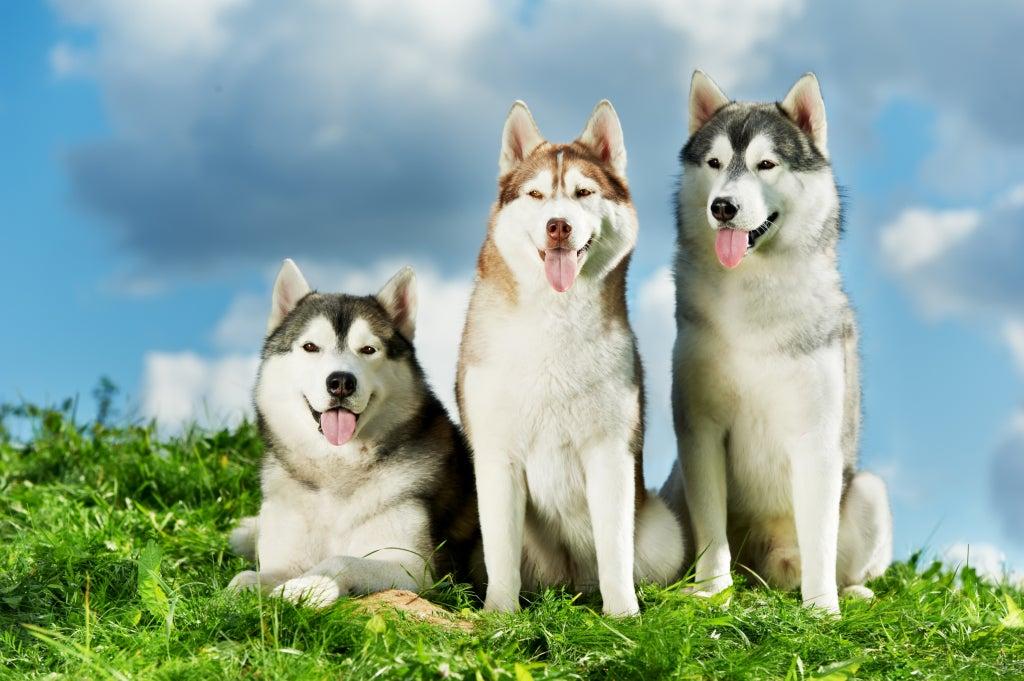 trois husky dans l'herbe