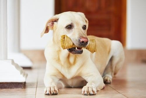un labrador mange un os pour les dents