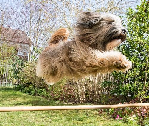 un chien bondit en l'air pour franchir un obstacle