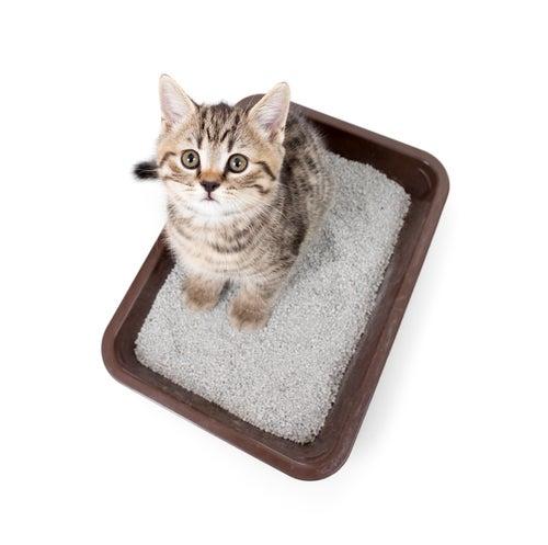 un chat dans un bac à litière