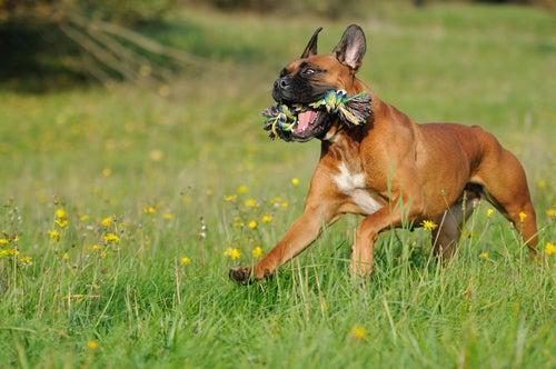 un jeune boxer marron court dans l'herbe