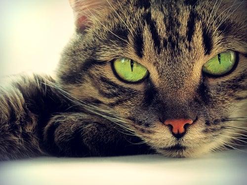 gros plan sur un chat