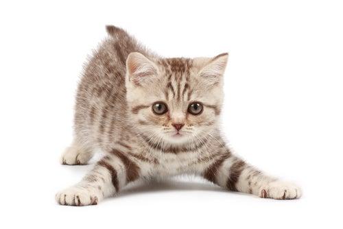 un chaton joueur
