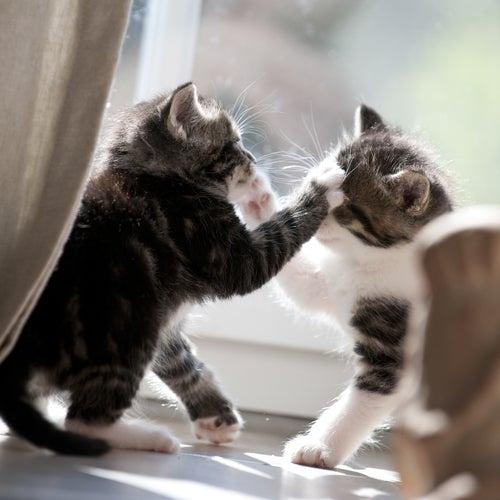 Pourquoi les chats se battent-ils ?