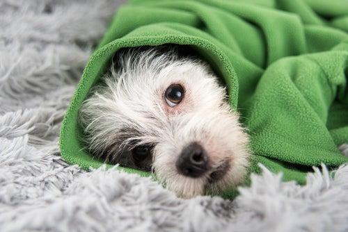 un petit chien enroulé dans une couverture verte
