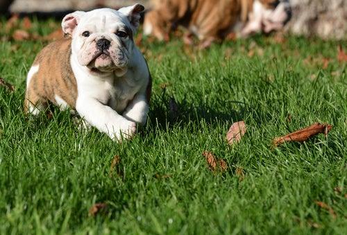 un jeune bouledogue court dans l'herbe