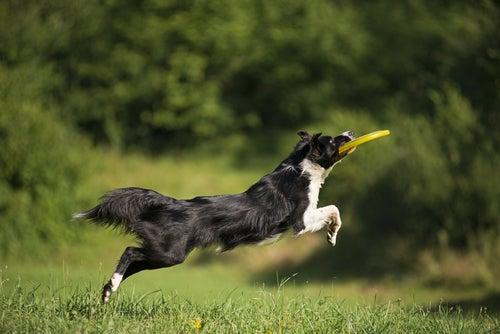 un border collie noir et blanc saute pour attraper un freesbie